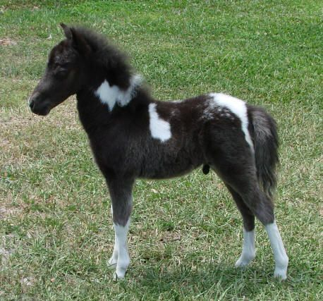miniature horses for sale page 136 -miniature horse foals