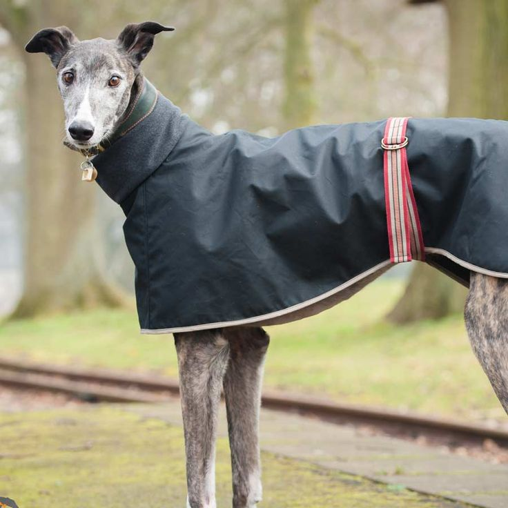 Buster in our Lovely Long Dog Greyhound Coat