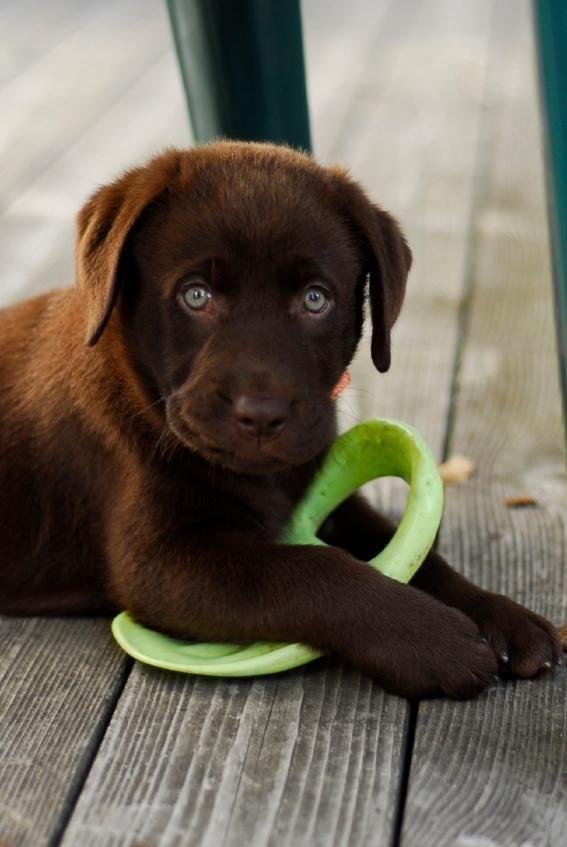 Chocolate Lab Puppy Names [Slideshow]