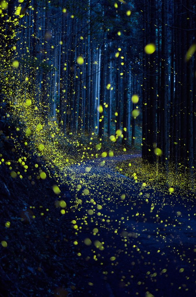lifeisverybeautiful: Firefly via 降り注ぐ光 PHOTOHITO