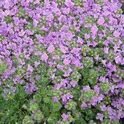 alle planten : Thymus serpyllum 'Elfin'
