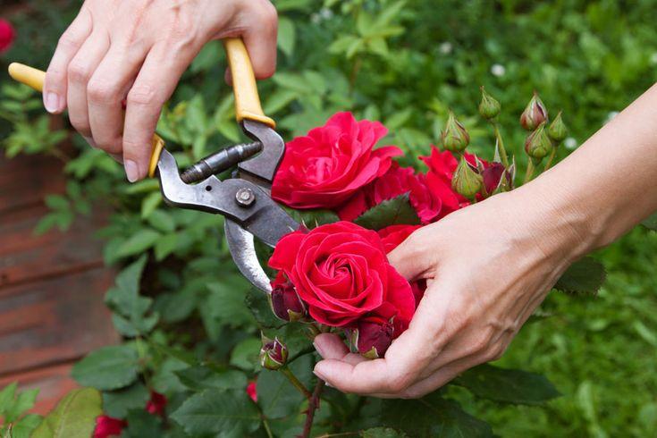 Se tem dúvidas na hora de podar suas rosas, nós ajudamos! #rosas #plantas #jardim #roses