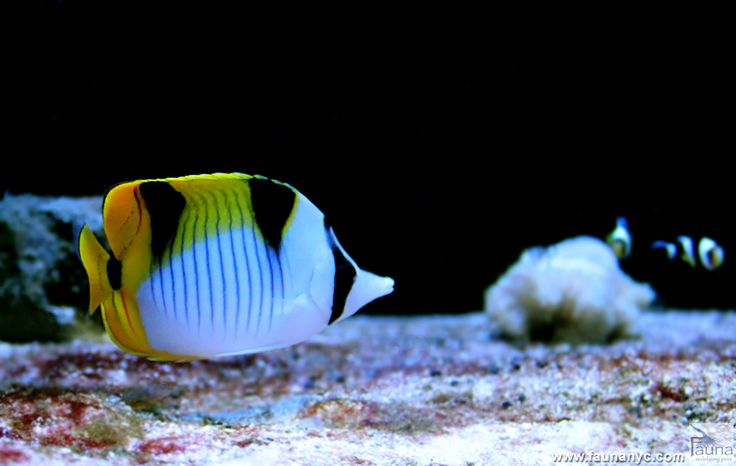 17 best images about saltwater tanks fish on for Fish only diet