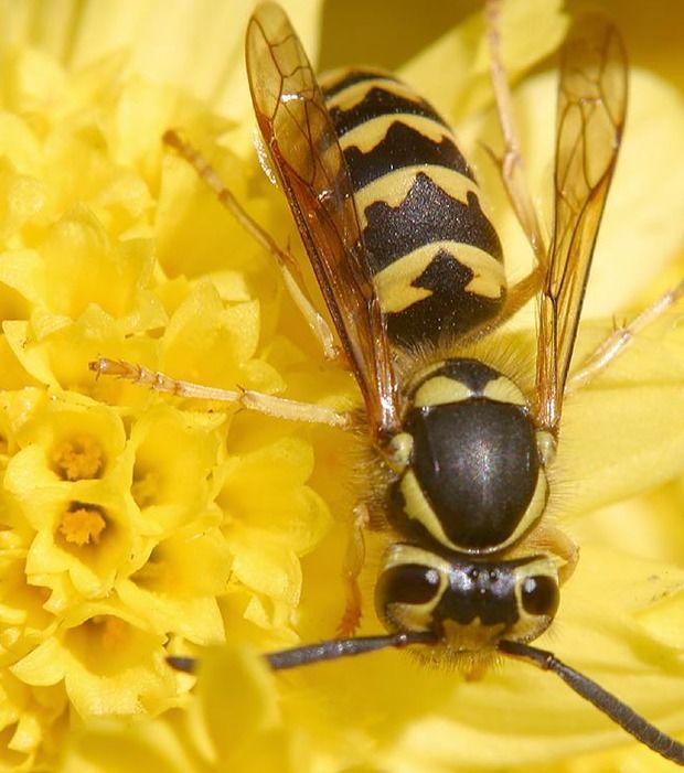 Wespen verjagen: Wenn du die Stelle, an die die Plagegeister besonders intensiv hinfliegen, mit Wodka einsprühst, siehst du sie so schnell nicht mehr. Den Bereich meiden sie ab dann nämlich