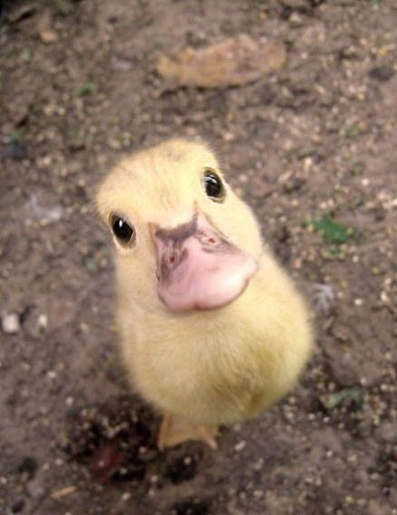 He loves ducksDucky, Cute Animal, Ducklings, Baby Ducks, Baby Baby, Pets, Baby Animal, Adorable, Birds