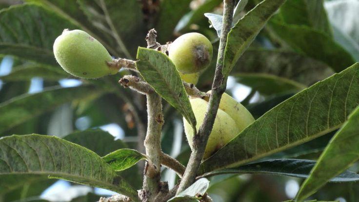 Ameixa Amarela rica em nutrientes para a saúde