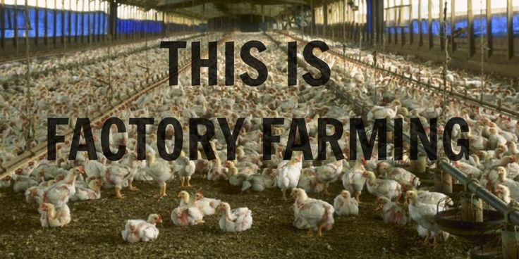 Nearly all U.S. chickens are crammed inside factory farms