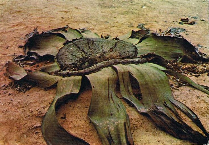 welwitschia mirabilis, deserto de Namibe, Angola