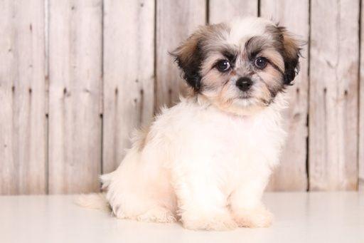Zuchon puppy for sale in MOUNT VERNON, OH. ADN-45883 on PuppyFinder.com Gender: Female. Age: 10 Weeks Old