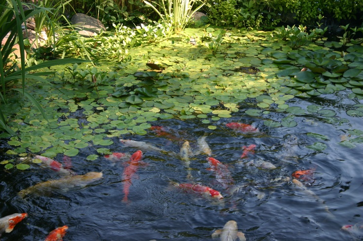 Koi fish feeding in the evening ponds and waterfalls for Koi carp pole