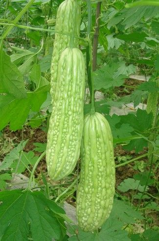 Bitter Melons (Momordica charantia) - Oriental variety