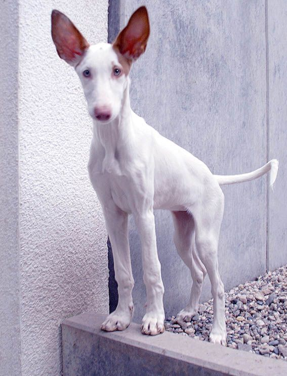 Ibizan Hound. soo cool! Puppy #LIFECommunity #Favorites From Pin Board #12