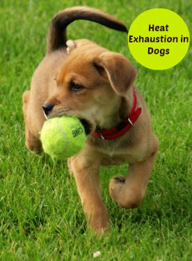 Heat Exhaustion in Dogs | What Every Dog Parent Needs to Know