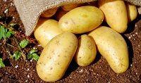 Máme rané, nebo ranné brambory?
