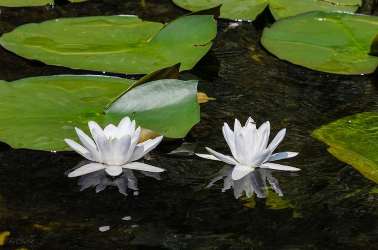 White Water Lilies ... in the Danube Delta