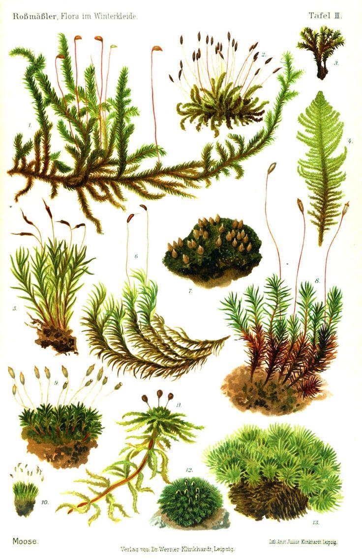 Botanical - moss - flora-im-winterkleide-1908-moose-moss