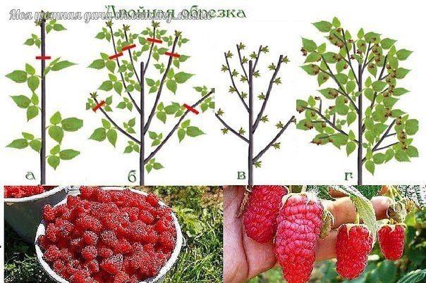 Мобильный LiveInternet Урожайная обрезка малины по Соболеву | Моя_дача - Пусть будут и цветочки, и ягодки! |
