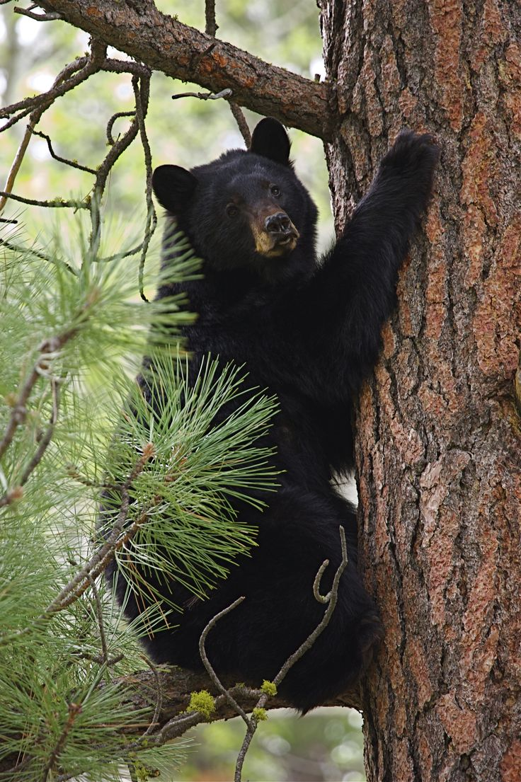 Black bear climbing a tree in the Smokies