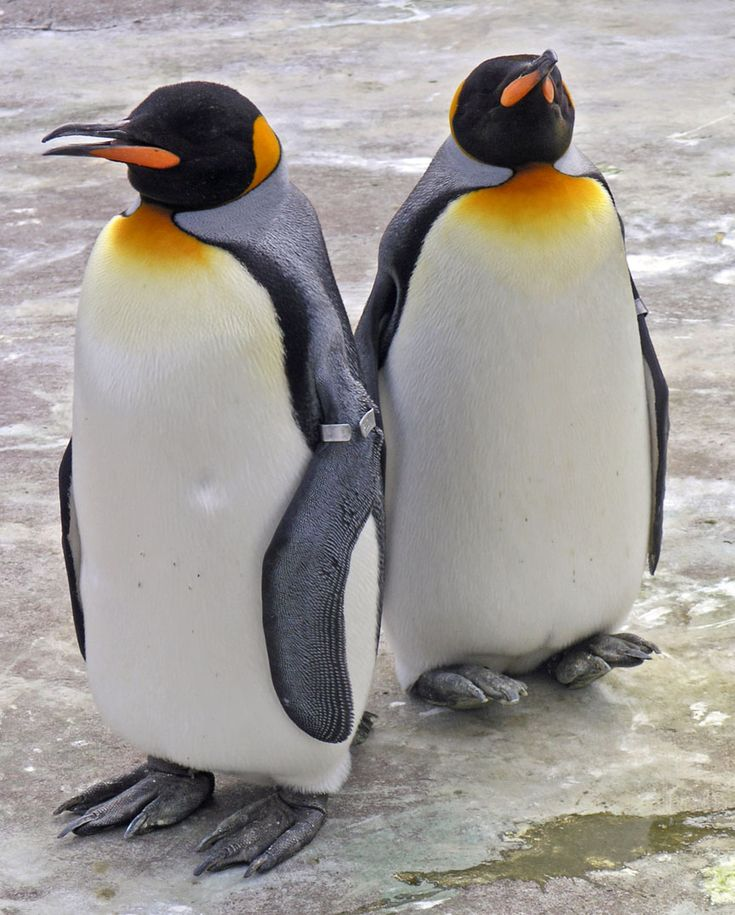 King Penguin. Okay, though they're smaller than the Emperors, they do look very like them.