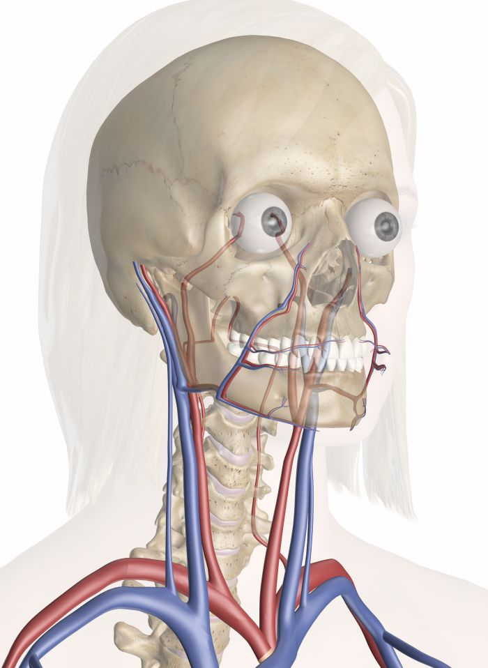 Cardiovascular System of the Head and Neck