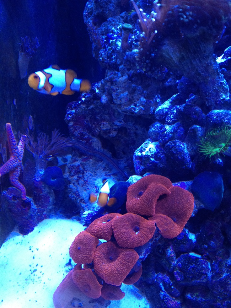 17 best images about saltwater reef tanks on pinterest for Saltwater reef fish
