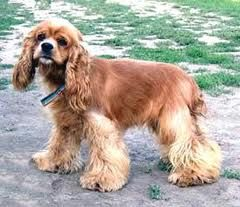 The American Cocker Spaniel was bred in the 19th-century United States for retrieving small game.  It became enormously popular both in the United States and abroad for its charming & gentle companionship but intense breeding led to a number of possible physical ailments including epilepsy.  The American Cocker is usually wonderful with children, well-suited to urban living, able to handle cold, and easy to train.  Owners who want a luxurious show coat must be committed to regular…