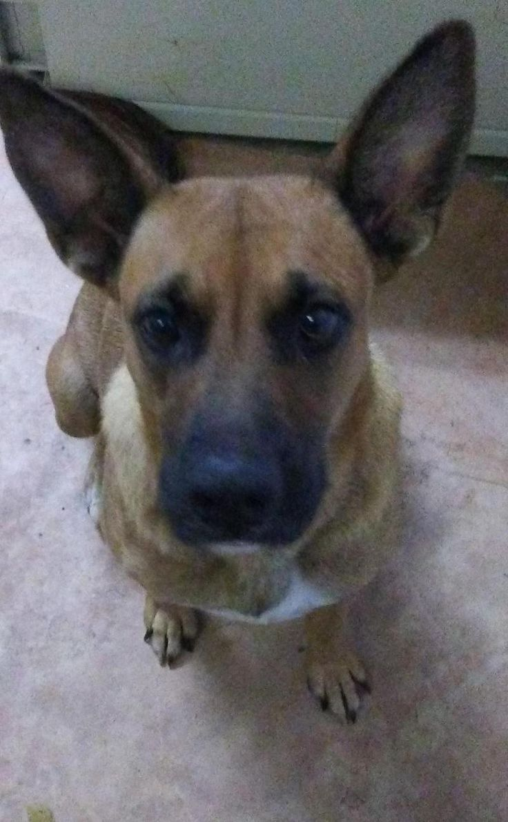 Marilyn Monroe is an adoptable German Shepherd Dog searching for a forever family near Houston, TX. Use Petfinder to find adoptable pets in your area.
