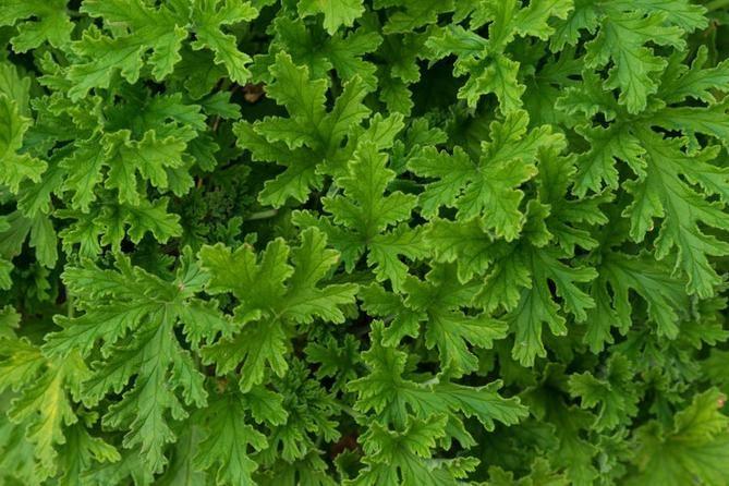 W leczeniu dolegliwości i chorób stosuje się liście anginki
