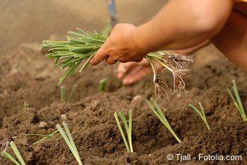 #Lauch #Porree: Der Boden für Porree muss schon im Herbst vorbereitet werden. Er sollte tiefgründig aufgelockert sein. Sehr vorteilhaft ist das Einarbeiten von Stallmist oder anderen organischen Düngern. Im Frühling, so Ende April bis Anfang Mai, kann der Porree dann direkt ins Freiland gepflanzt werden. Es ist aber auch möglich, Porree in Form von Saat zu verwenden. Die einzelnen Saatkörner sollten aber auf keinen Fall zu dicht nebeneinander gesät werden. Später sollen die Porreepflanzen…