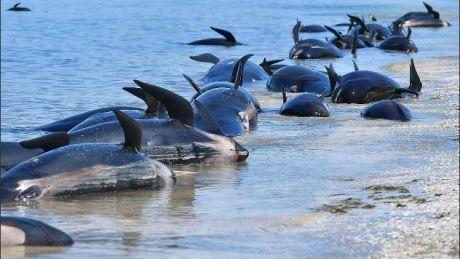 GROAZNIC: Încă peste 200 de balene pilot au eșuat pe o plajă din Noua Zeelandă
