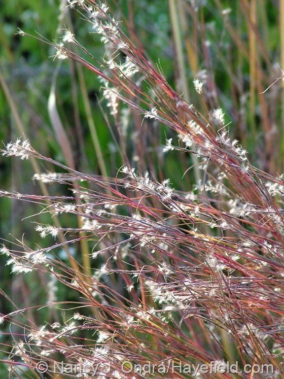 9 best garden grass little bluestem images on pinterest for Short ornamental grasses full sun