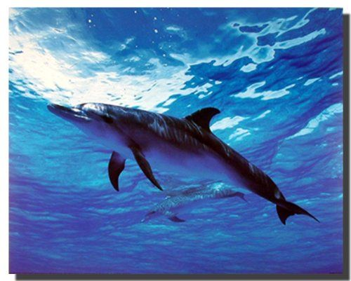 Simply Superb! This poster is extremely beautiful that would sure to mesmerize everyone towards it. Everyone should say Wow to this poster and can't stop them to buy this poster. This poster captures the image of bottle nose dolphin swimming underwater is sure to grab lot of attention. It will be a wonderful addition to any home and goes with all décor style. Ensure high quality with high degree of color accuracy.