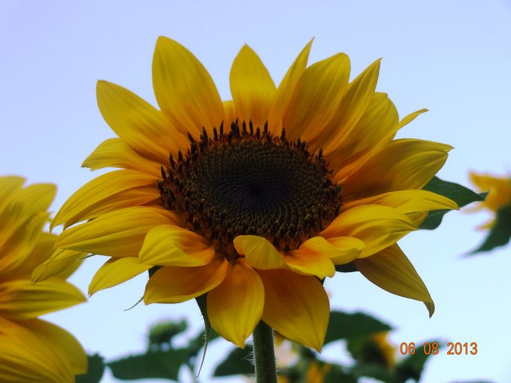 Sunflowers *-* Forever my favourite We had our garden full of them this summer.