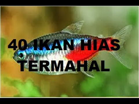 Ikan Hias Air Tawar, Jenis Ikan Hias, Ikan hias adalah ikan yang sering banyak orang pelihara dirumah. Biasanya dengan maksud mempercantik ruangan rumah