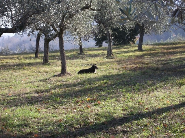 Our friend Charlie in his olive grove