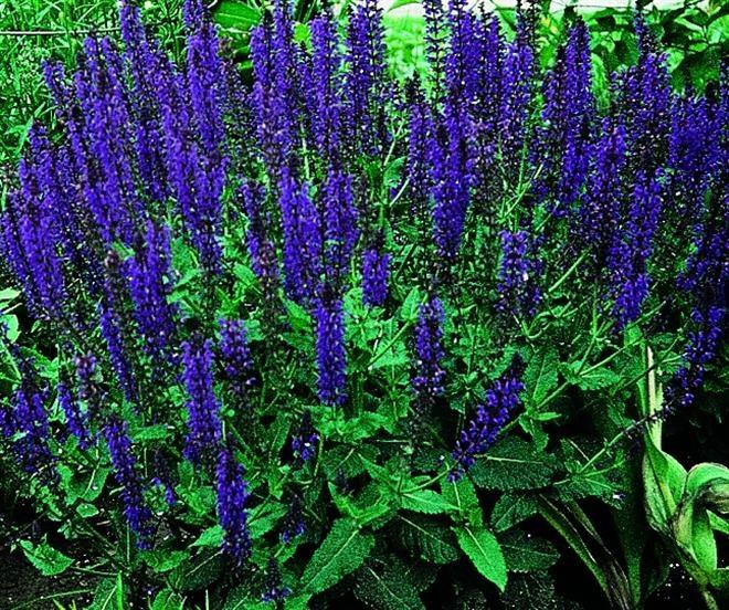 Salvia x sylvestris 39 may night 39 39 mainacht 39 hybrid wood for Perennial wood
