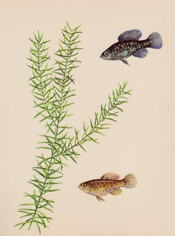 Vintage Aquarium Fish Print SALE Ocean Gallery by plaindealing