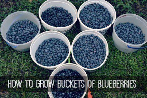 How To Grow Buckets Of Blueberries At Home | Get started growing your own buckets of fresh blueberries in your garden or even on your patio in containers.