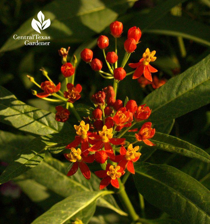 Native Milkweed Asclepias Curassavica Austin Texas Is A Nectar Host For All  Butterflies And A Breeding. Texas PlantsTexas GardeningCentral ...