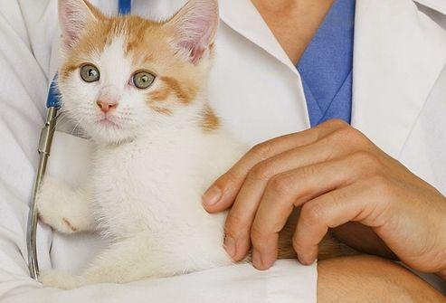 Схема вакцинации: Ели котенок здоров, и рекомендация ветеринара получена, можно нести животное в клинику на прививку. Не слушайте советы любителей, которые вводят вакцины сами. Последствия для животного могут быть непредсказуемыми. Примерная схема выглядит так: 1этап. В возрасте 2-3 месяцев колется поливалентная вакцина, то есть защищающая сразу от нескольких инфекций....