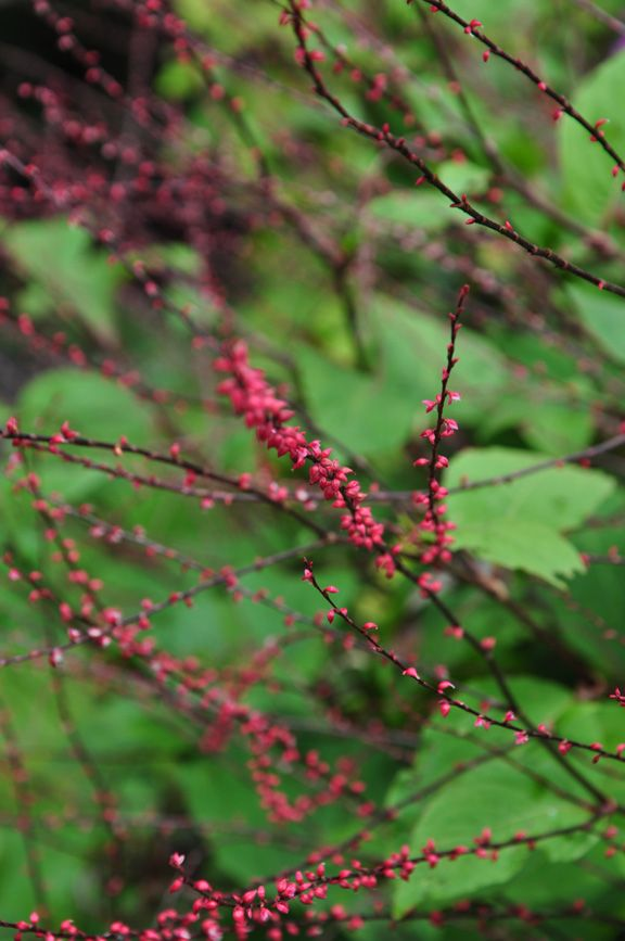 Persicaria Virginiana Lance Corporal Is A Woodland Plant