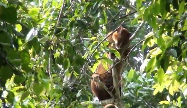 African golden cat captured on video in the wild for the first time   Daily Mail Online