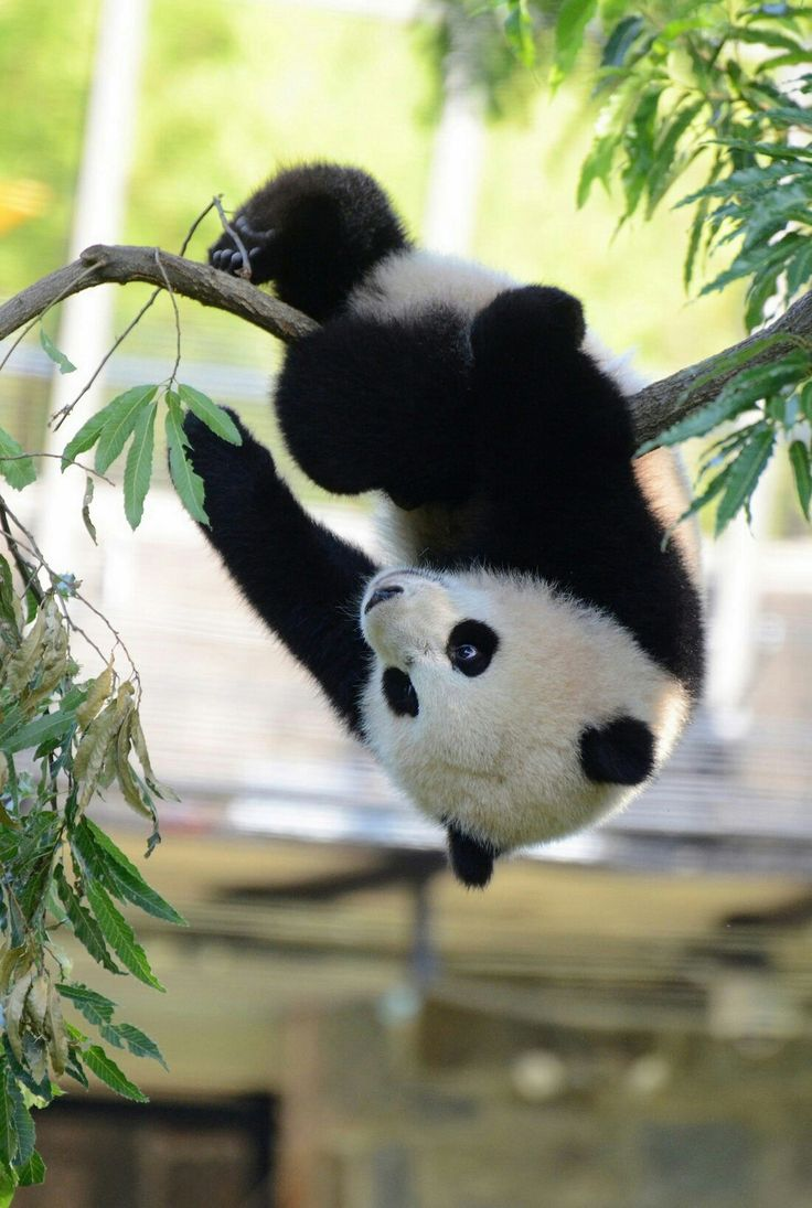 if I could be many animal, I would be a panda!!