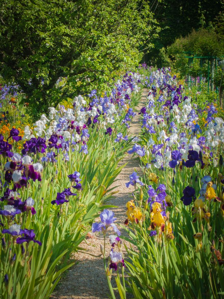 Iris walk. Giverny. Dark purple. Pale blue/lilac and a touch of orange…