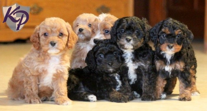 Cavapoo Puppies for Sale in PA | Keystone Puppies