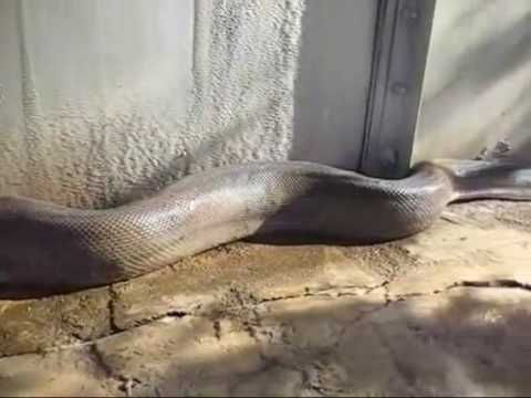 This Video Of The Largest Snake Ever Found Will Give You Nightmares