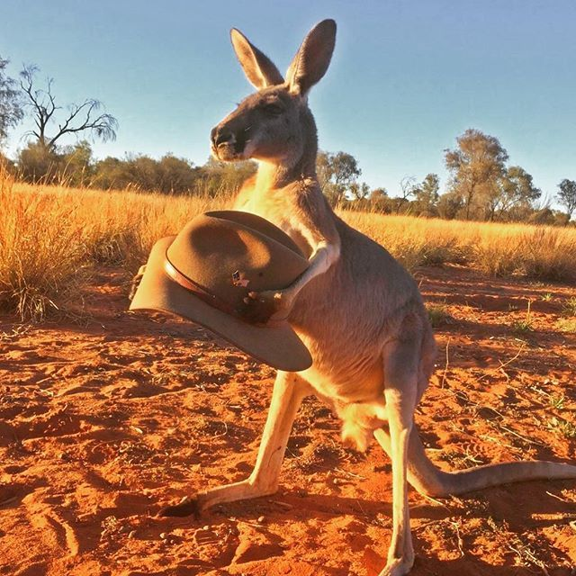 When your mate wants to try your #Akubra on... Jaffa from the @thekangaroosanctuary doesn't seem keen to hand it over! For our non-Aussie fans, orphan roos are raised by the Sanctuary. #australia #outback #akubra