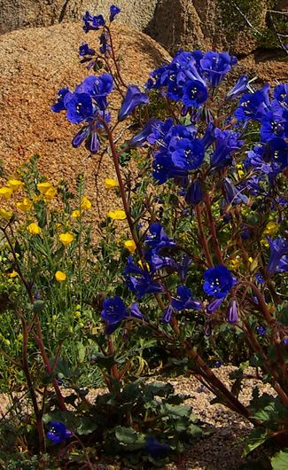 164 best images about native california plants on pinterest