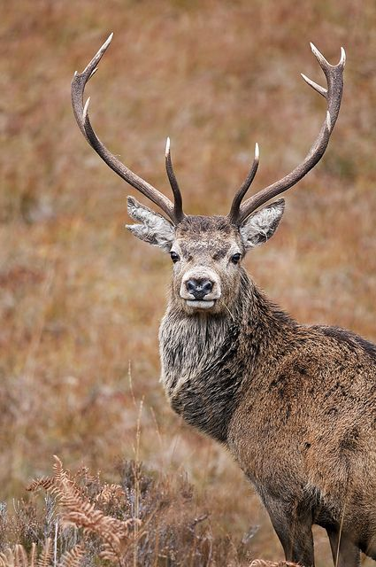 red stag close up - Google Search