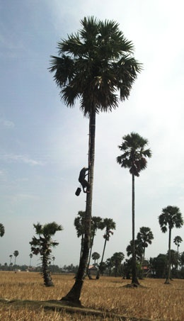 The Palm sugar tree is Cambodia's national tree. Cambodians boil the fruit's sap to make palm sugar.
